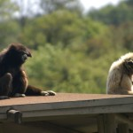 White handed gibbons