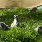 Ring tailed lemur bachelor troupe